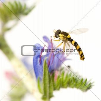 Hoverflies