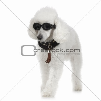 Poodle wearing collar and sunglasses
