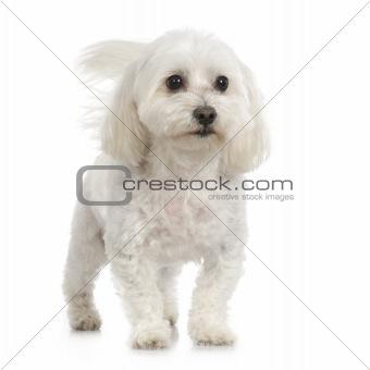 Adult maltese dog