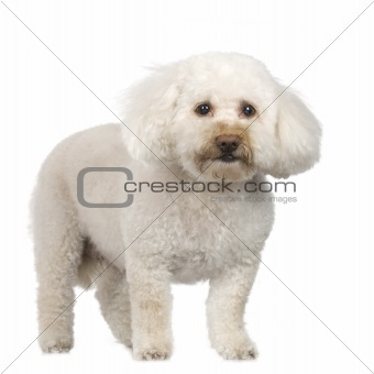 Old Poodle