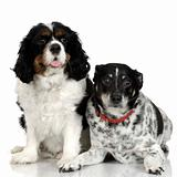 Bastard and Cavalier King Charles Spaniel