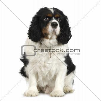 Adult Cavalier King Charles Spaniel