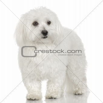Adult maltese dog