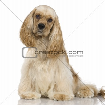 Adult American Cocker Spaniel Breed