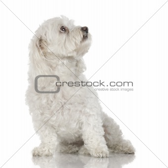 Old maltese dog