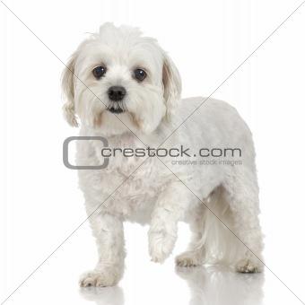 Old maltese dog