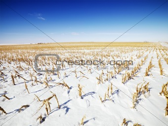 Snow covered corn field.