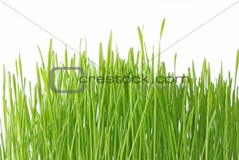Close up of the green grass on white background