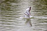 Black-Headed Gull Touching Down