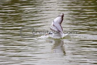 Black-Headed Gull Touching Down