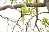 Rose-Ringed Parakeet On The Tree