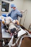 Canine Surgery