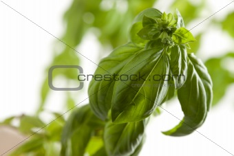 Fresh Basil Plant Leaves and Sprout Abstract Growing on the Vine.