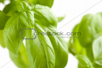 Fresh Basil Plant LeavesAbstract Growing on the Vine.