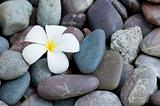 frangipani flower on a stack of rocks
