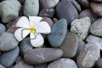 frangipani flower on a stack of rocks