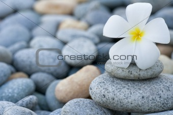 frangipani with with stack of rocks
