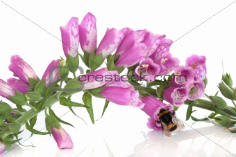 Bee and Foxglove Flowers