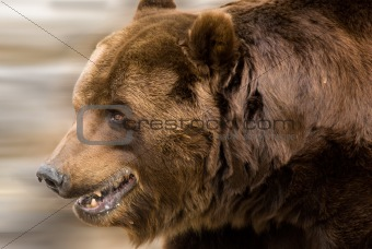 A cute brown bear