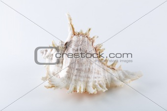 sea shell with white background