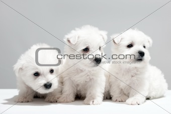 Three white puppies resting together