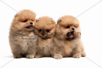 Three pomeranian spitz puppies