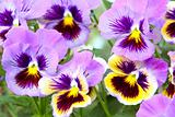 Blue and yellow and pansy (viola)
