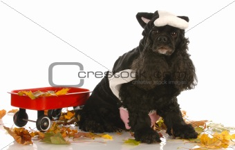 american cocker spaniel dressed up as a cow in autumn setting