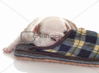 three week old english bulldog puppy curled up with a plaid slipper