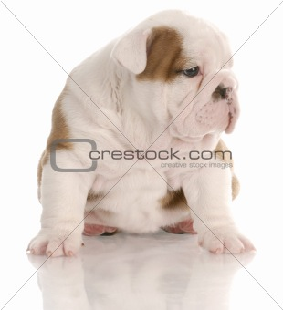 four week old english bulldog puppy sitting with reflection on white background
