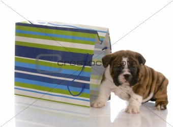 adorable english bulldog puppy sitting beside a colorful gift bag