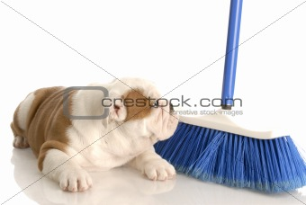 cleaning up after new puppy - eight week old english bulldog