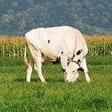 holstein cow grazing