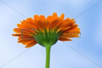 A yellow Gerbera sunflower