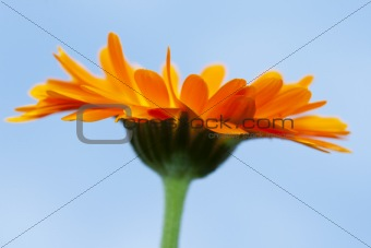 abstract close-up of an orange gerbera