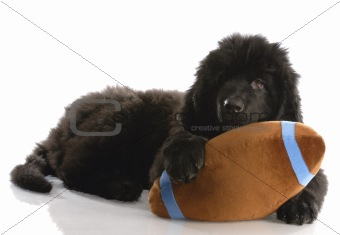 newfoundland puppy playing with stuffed football - twelve weeks old