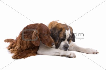 Irish Red Setter and Saint Bernard