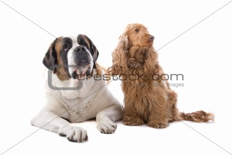 An isolated view of a large St. Bernard and a small Cocker Spaniel dog