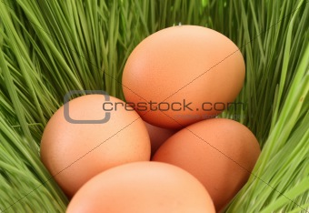 Eggs of a bird in a green grass