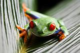 The photo of the red eyed tree frog, separated