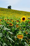 Sunflower cultivation