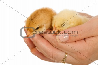 Baby chickens in woman hand