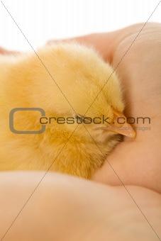 Sleeping baby chicken in woman hand