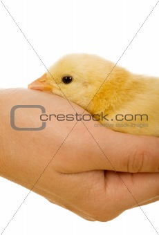 Small yellow chicken in hand - closeup