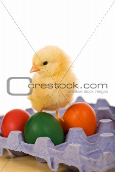 Baby eastern chicken with eggs on blue carton