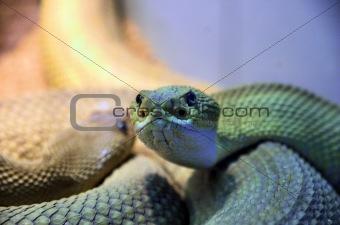 brésilienne serpent à sonnettes