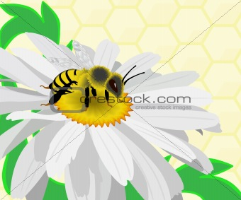Bee gather honey on a camomile