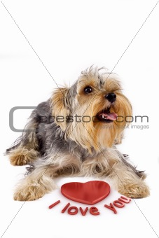 picture of a yorkshire terrier with a 3d heart