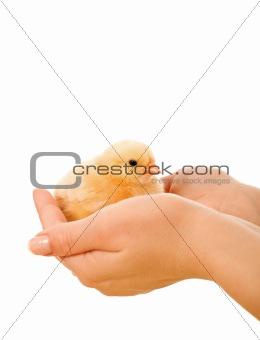 Little fluffy chicken held in woman hands