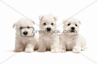 Three west highland white terrier puppies